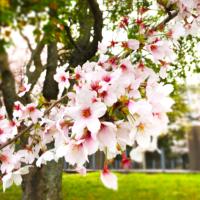 宮川の桜2